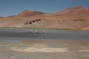 Flamingi/Flamingos