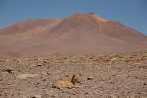 Lisek pustynny/Desert Fox
